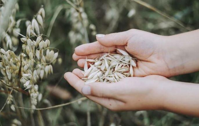 귀리는 식이섬유가 풍부해 다이어트나 변비 예방에 도움이 되는 것으로 잘 알려져 있다. 이 식이섬유는 혈압을 낮춰주면서 심장질환이나 동맥경화 발병의 위험을 감소시켜주는데도 큰 효과를 보인다. 쌀 대신 귀리가 들어간 식사를 하면 혈당을 조절하는데도 탁월하다. 다만 귀리의 거친 식감 때문에 소화 흡수력이 떨어질 수 있으므로 밥을 지을 때 쌀이나 다른 잡곡의 비율을 높게 해 섭취하면 좋다.